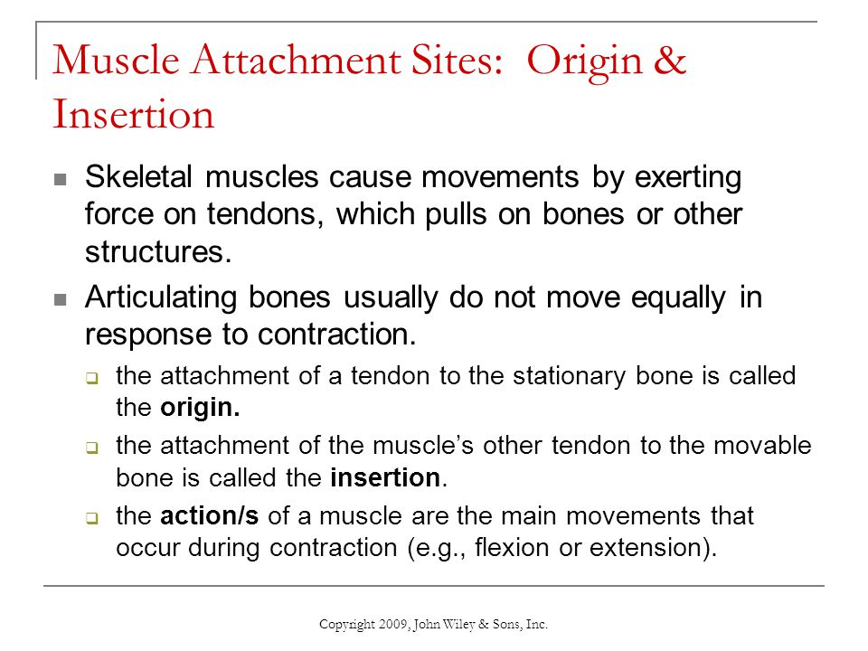 Muscle Attachment Sites: Origin & Insertion
