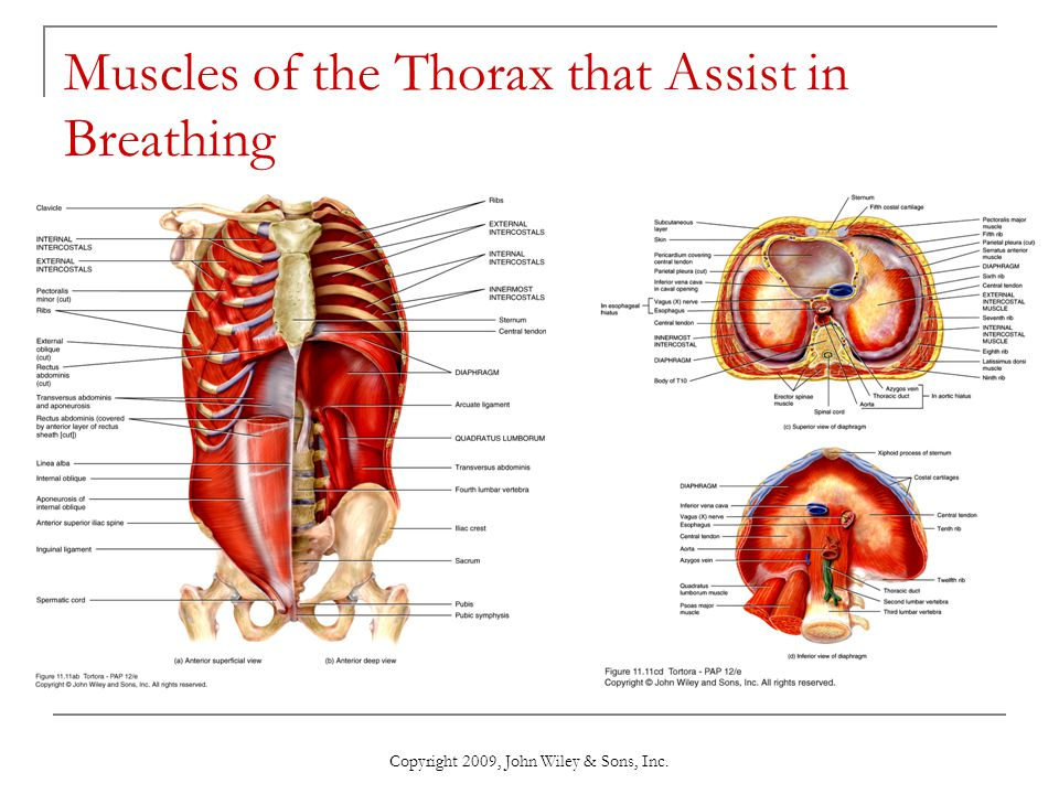 Muscles of the Thorax that Assist in Breathing