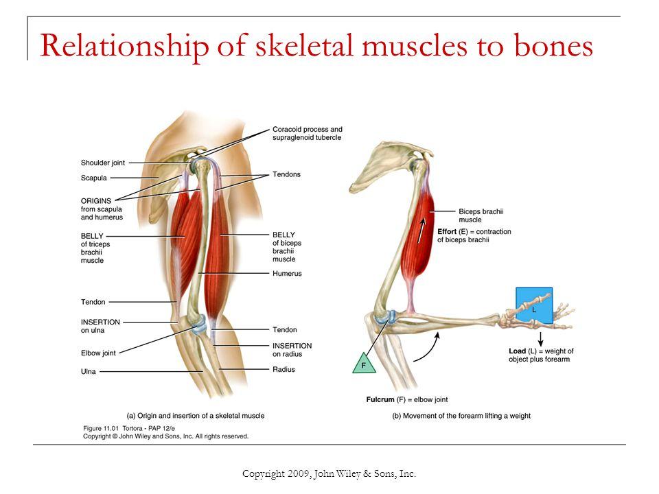 Relationship of skeletal muscles to bones