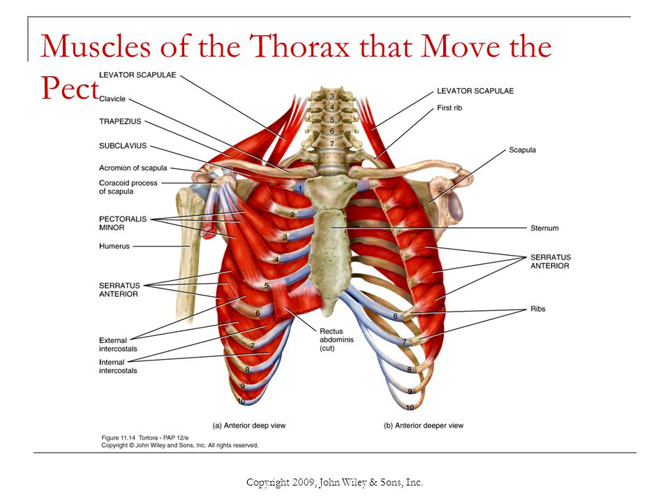 Muscles of the Thorax that Move the Pectoral Girdle