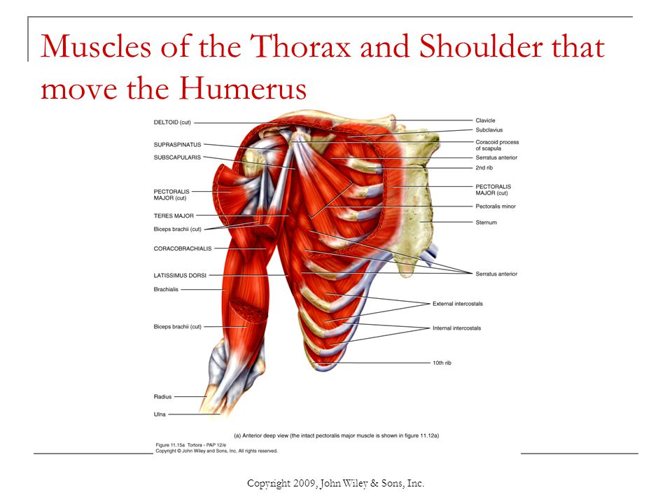Muscles of the Thorax and Shoulder that move the Humerus