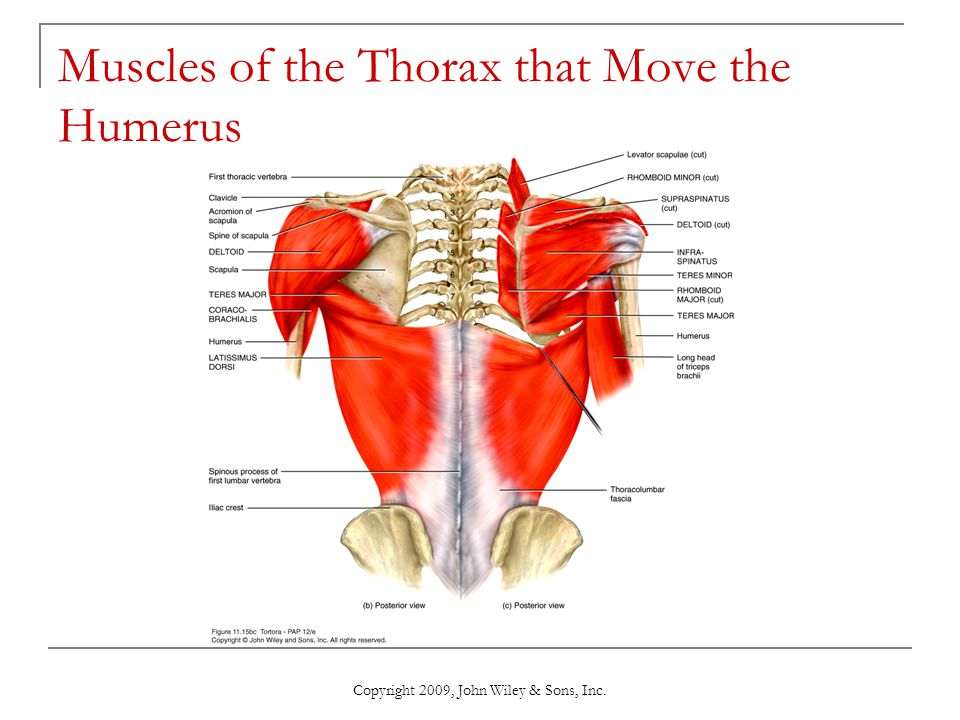 Muscles of the Thorax that Move the Humerus