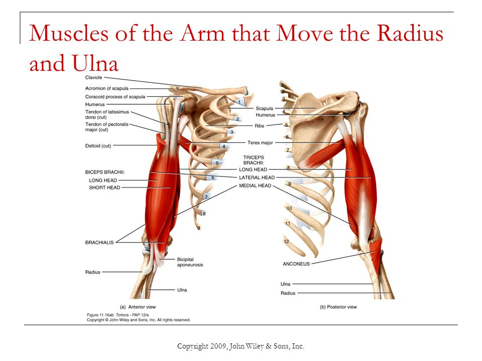 Muscles of the Arm that Move the Radius and Ulna