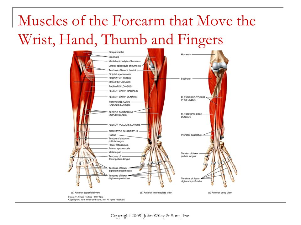 Muscles of the Forearm that Move the Wrist, Hand, Thumb and Fingers