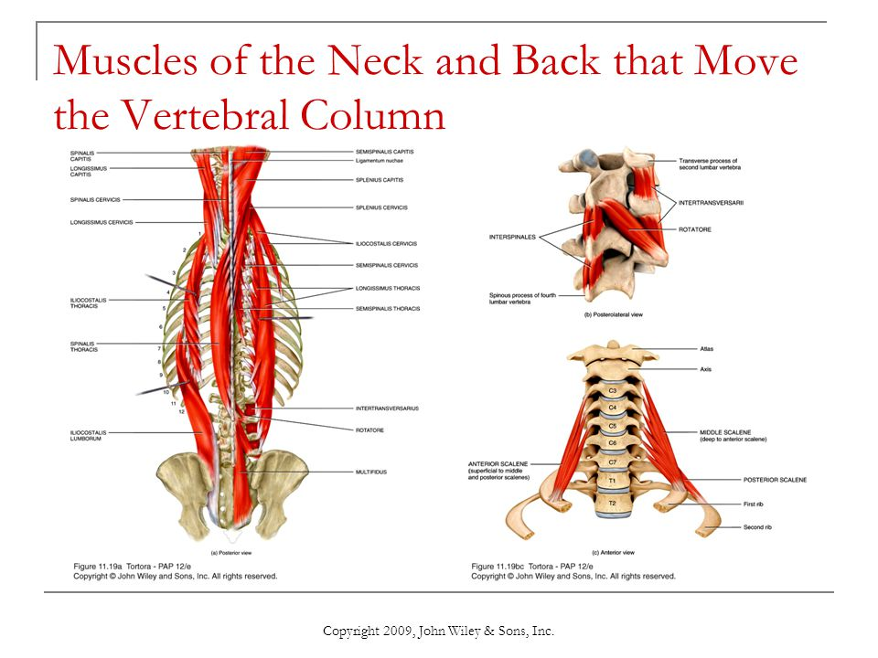 Muscles of the Neck and Back that Move the Vertebral Column