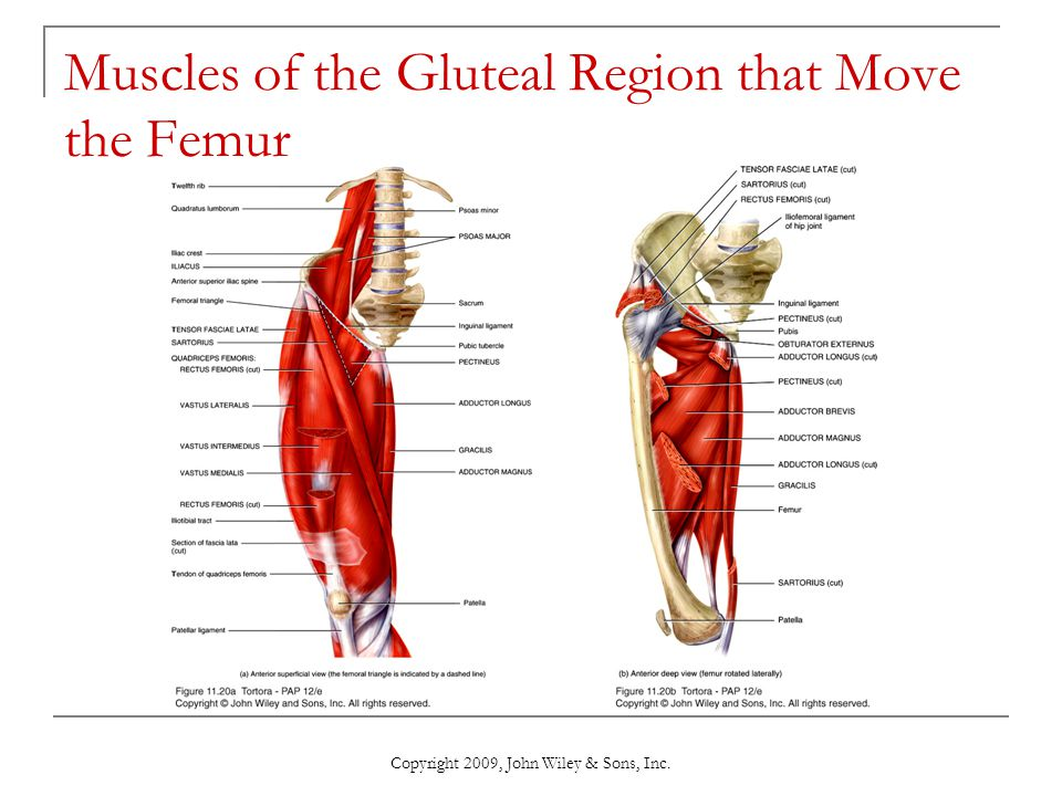 Muscles of the Gluteal Region that Move the Femur