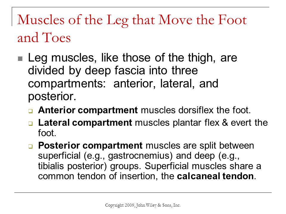 Muscles of the Leg that Move the Foot and Toes