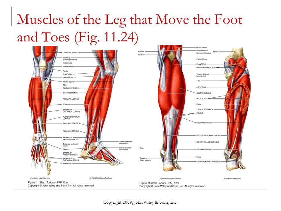 Muscles of the Leg that Move the Foot and Toes (Fig. 11.24)
