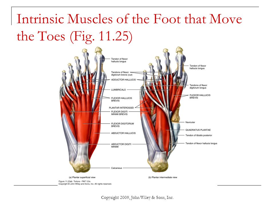 Intrinsic Muscles of the Foot that Move the Toes (Fig. 11.25)