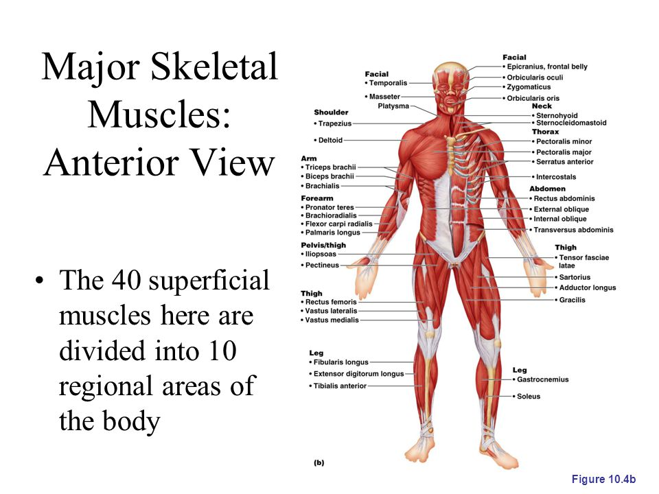Major Skeletal Muscles: Anterior View