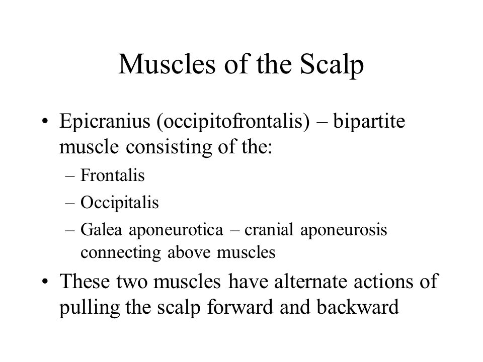 Muscles of the Scalp Epicranius (occipitofrontalis) – bipartite muscle consisting of the: Frontalis.