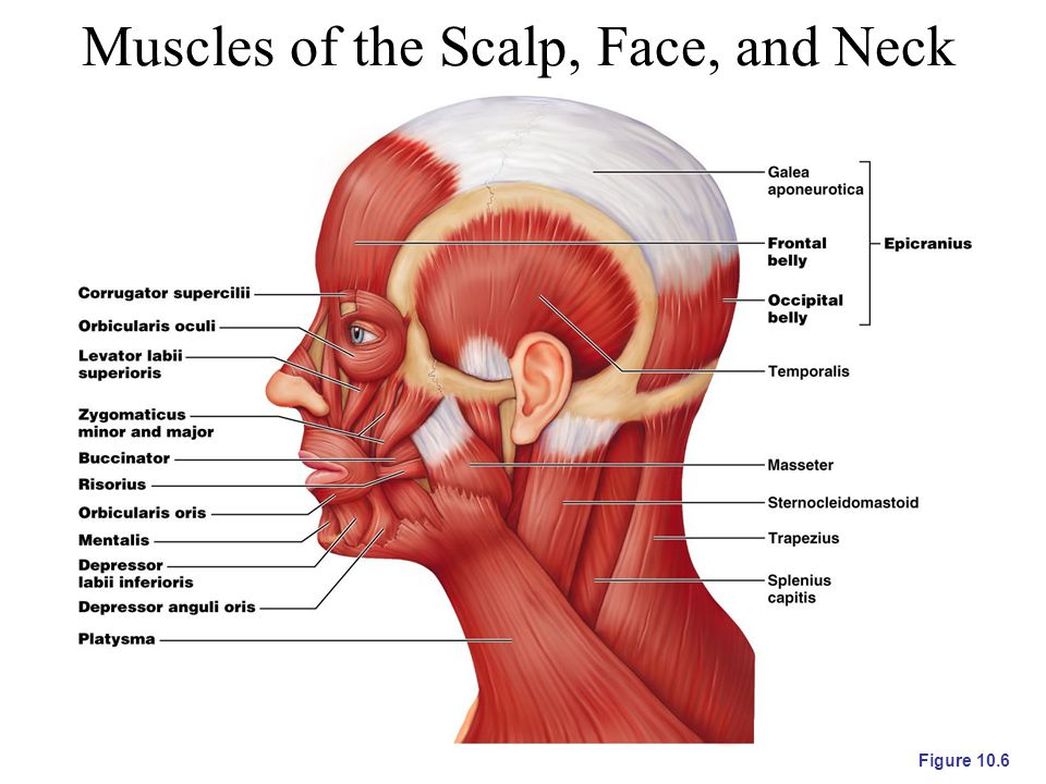 Muscles of the Scalp, Face, and Neck