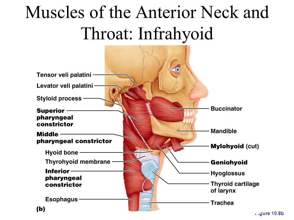 Muscles of the Anterior Neck and Throat: Infrahyoid