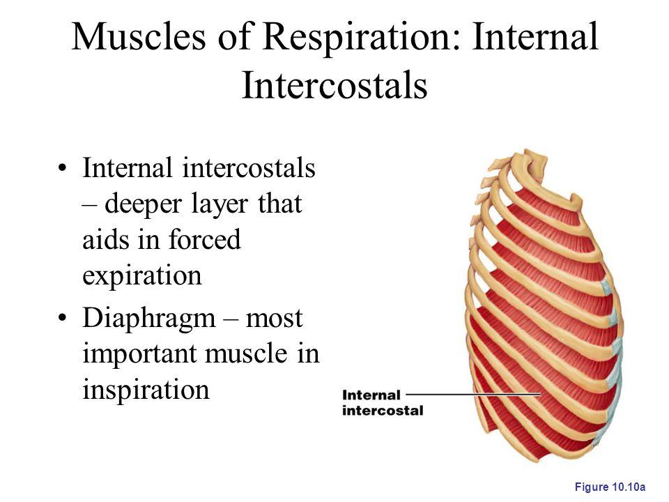 Muscles of Respiration: Internal Intercostals
