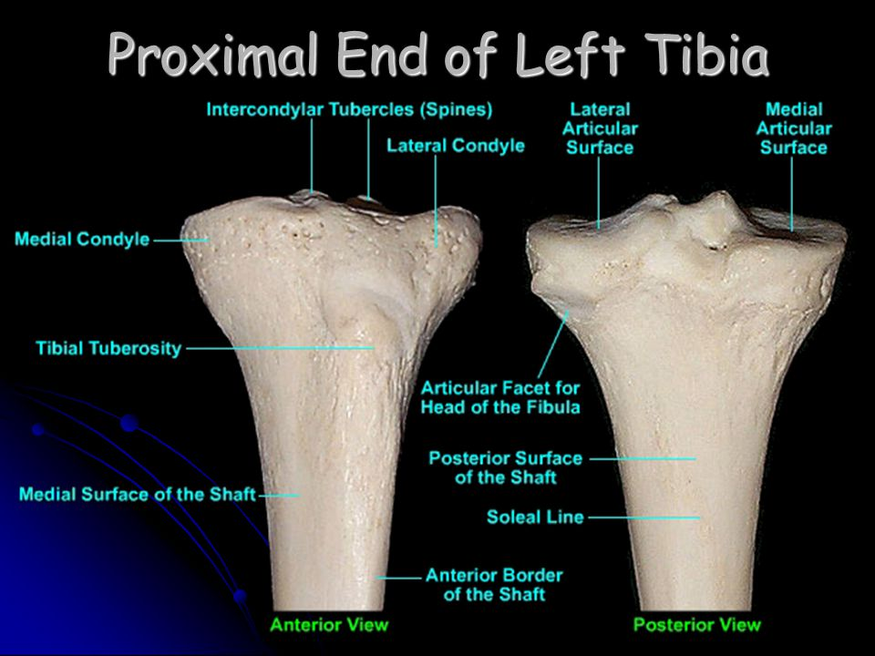 Proximal End of Left Tibia