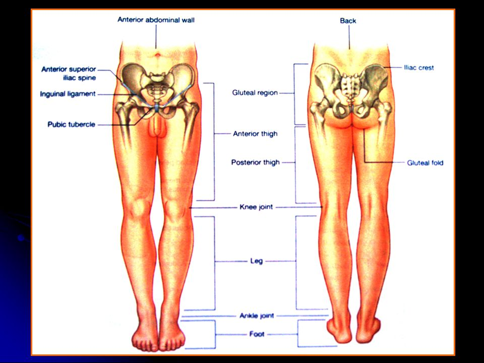 Gluteal Thigh Knee Leg Ankle Foot