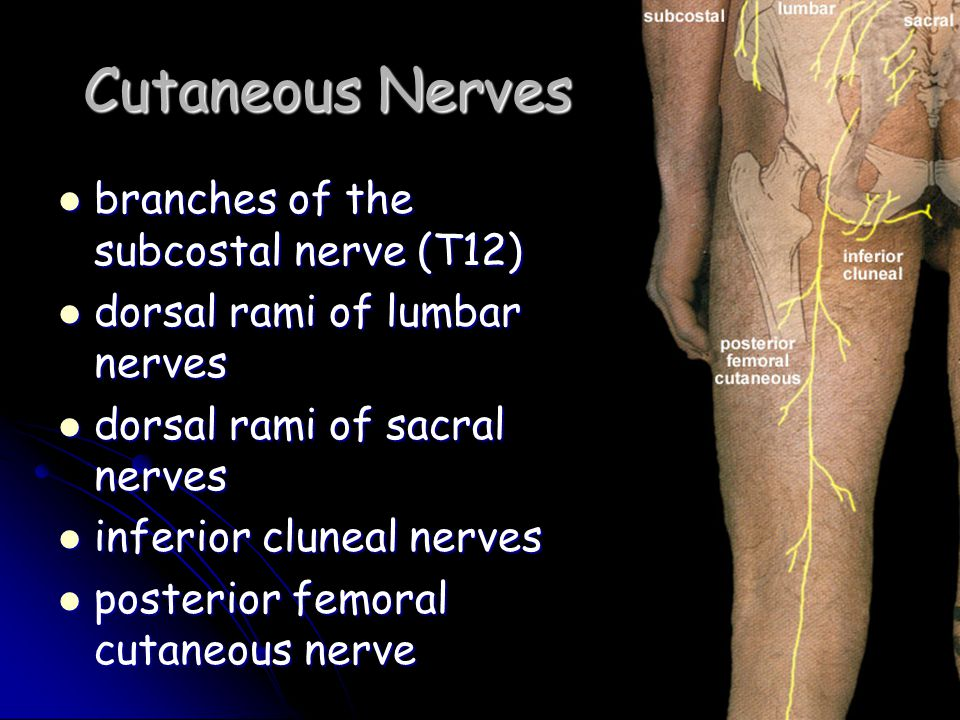 Cutaneous Nerves branches of the subcostal nerve (T12)