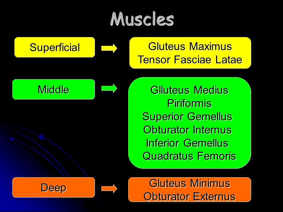 Muscles Superficial Gluteus Maximus Tensor Fasciae Latae