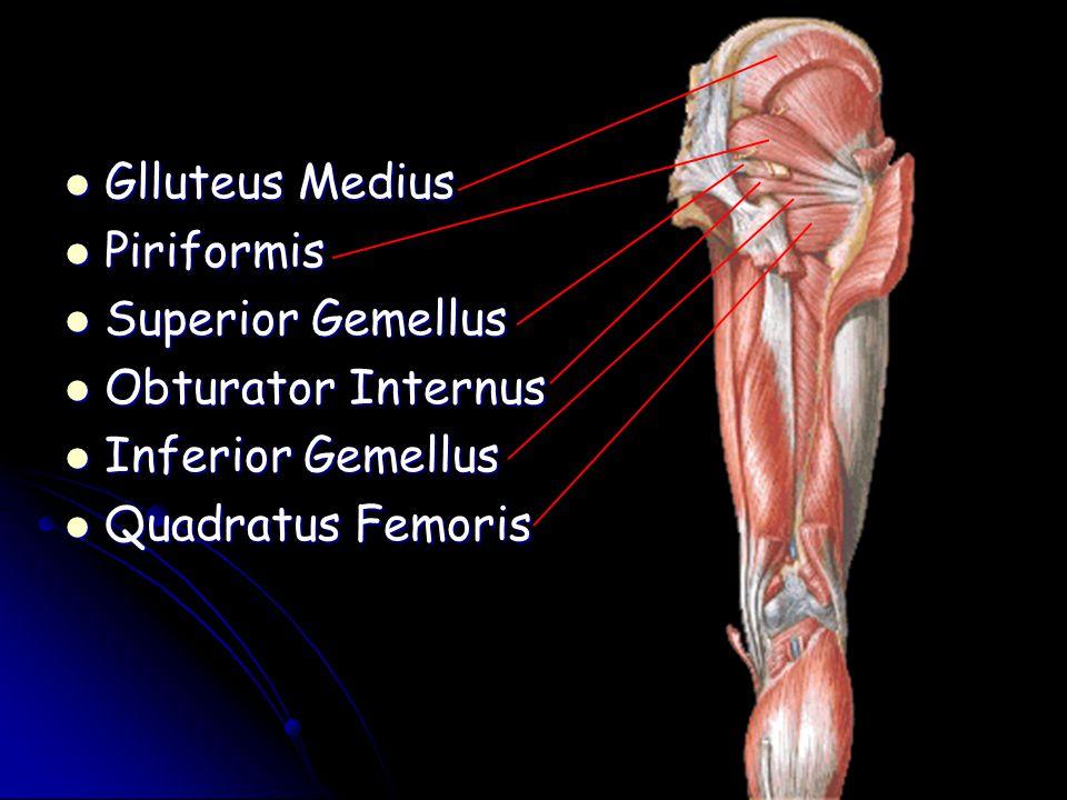 Glluteus Medius Piriformis Superior Gemellus Obturator Internus Inferior Gemellus Quadratus Femoris