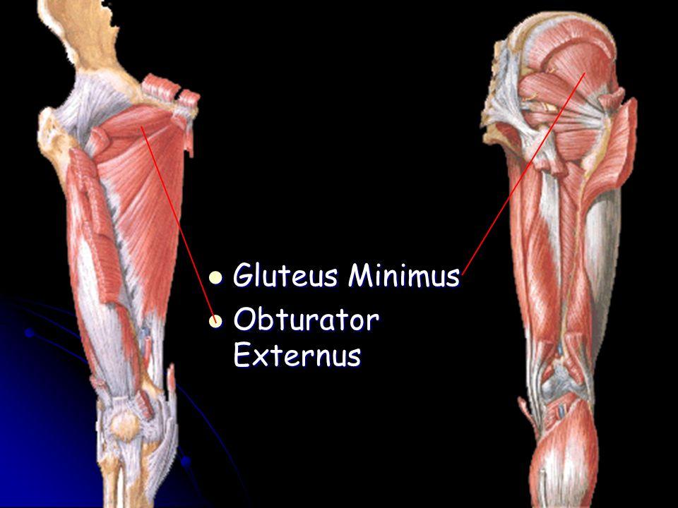 Gluteus Minimus Obturator Externus