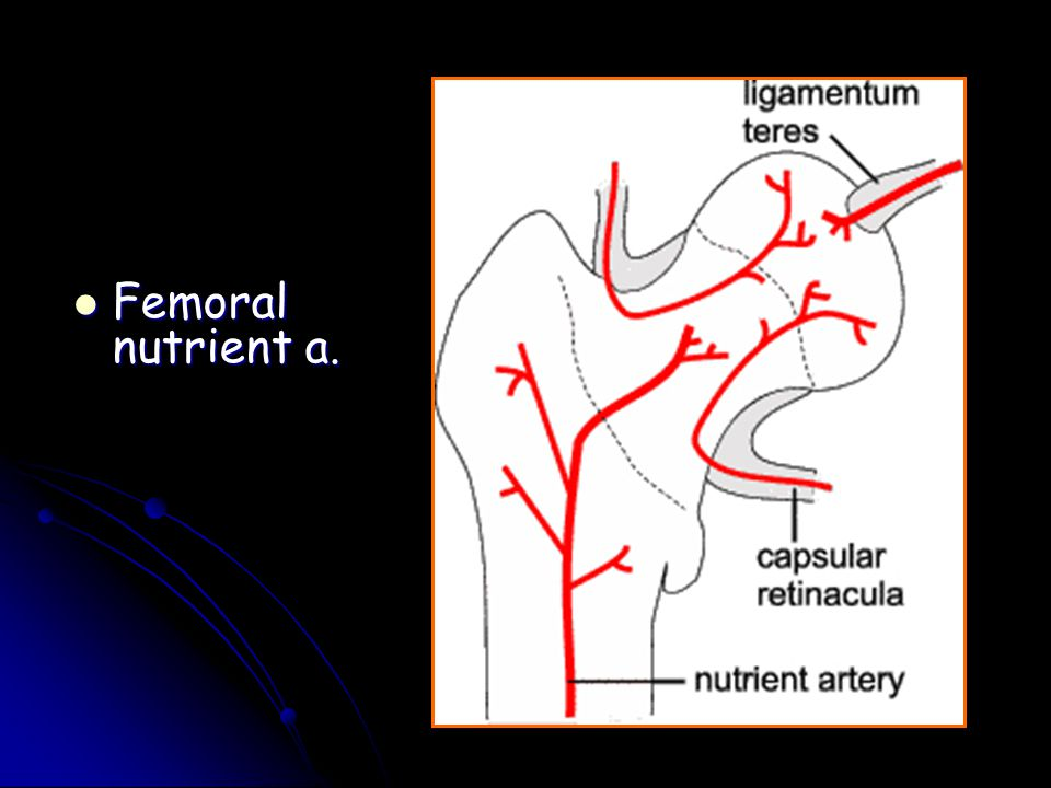 Femoral nutrient a.
