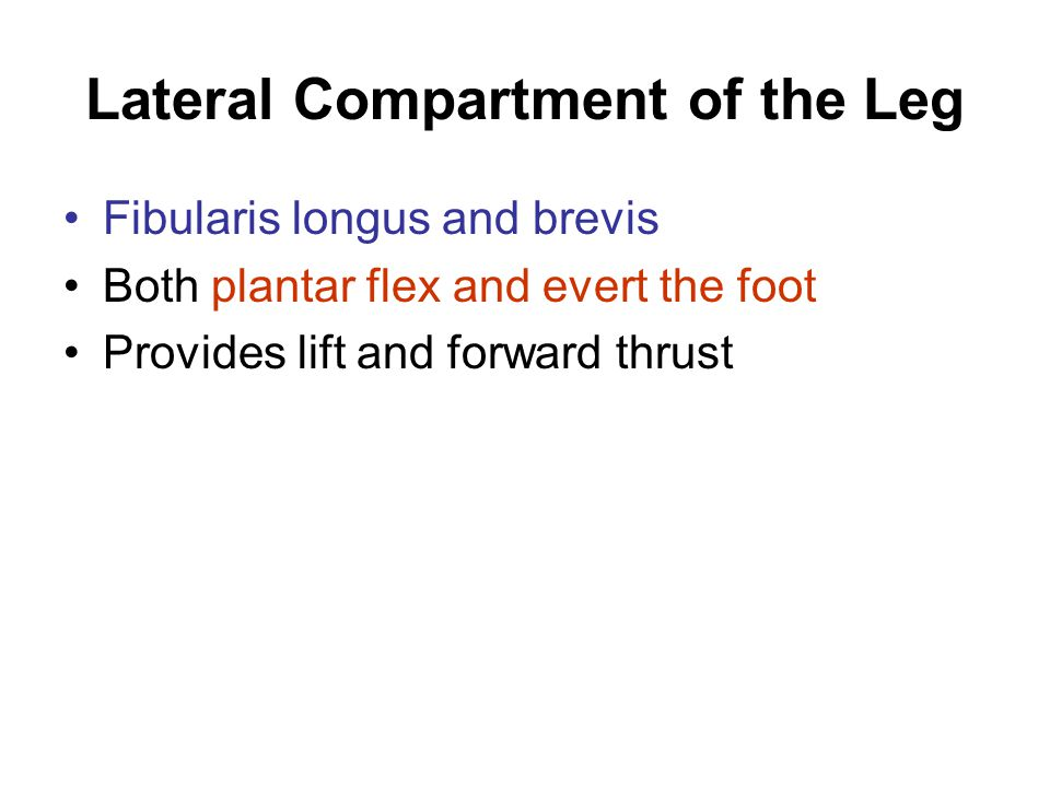 Lateral Compartment of the Leg