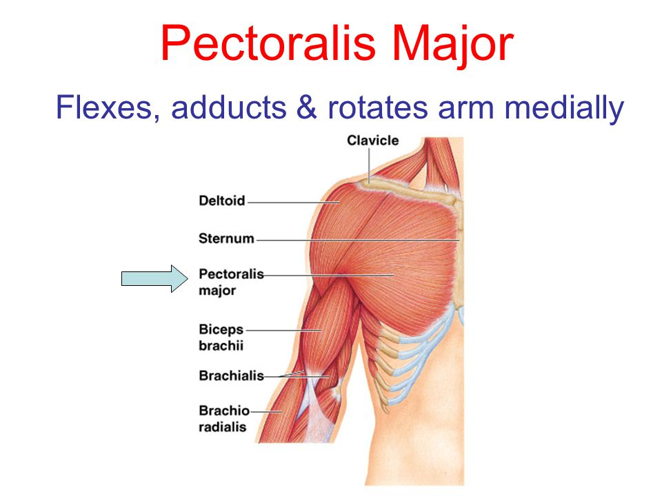 Flexes, adducts & rotates arm medially