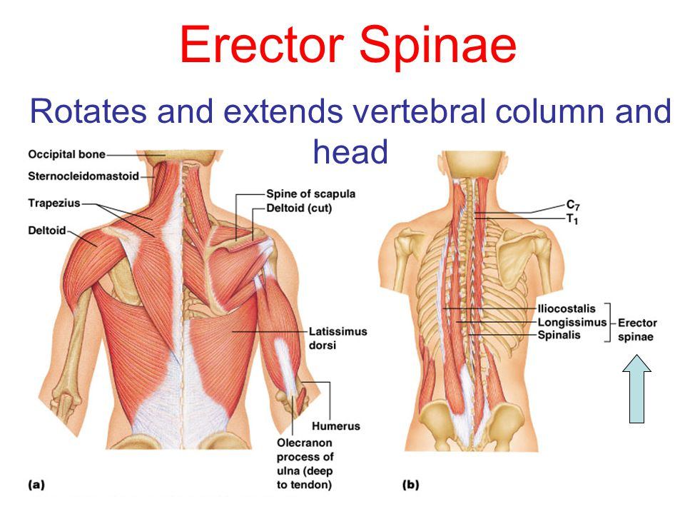 Rotates and extends vertebral column and head