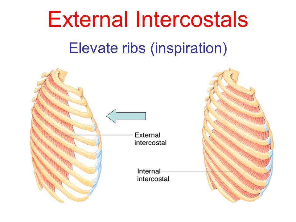 External Intercostals