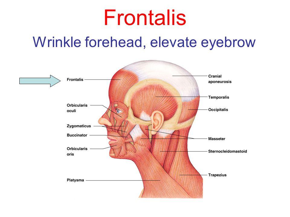 Wrinkle forehead, elevate eyebrow