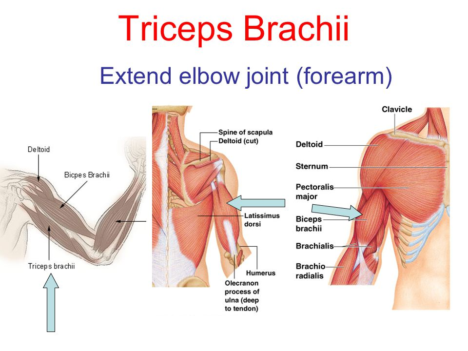 Extend elbow joint (forearm)