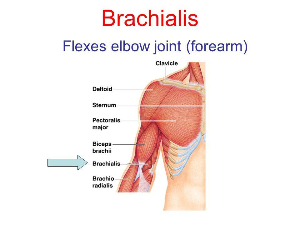 Flexes elbow joint (forearm)