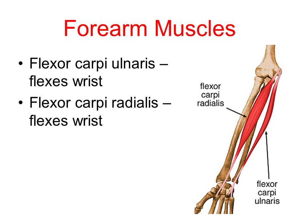 Forearm Muscles Flexor carpi ulnaris – flexes wrist