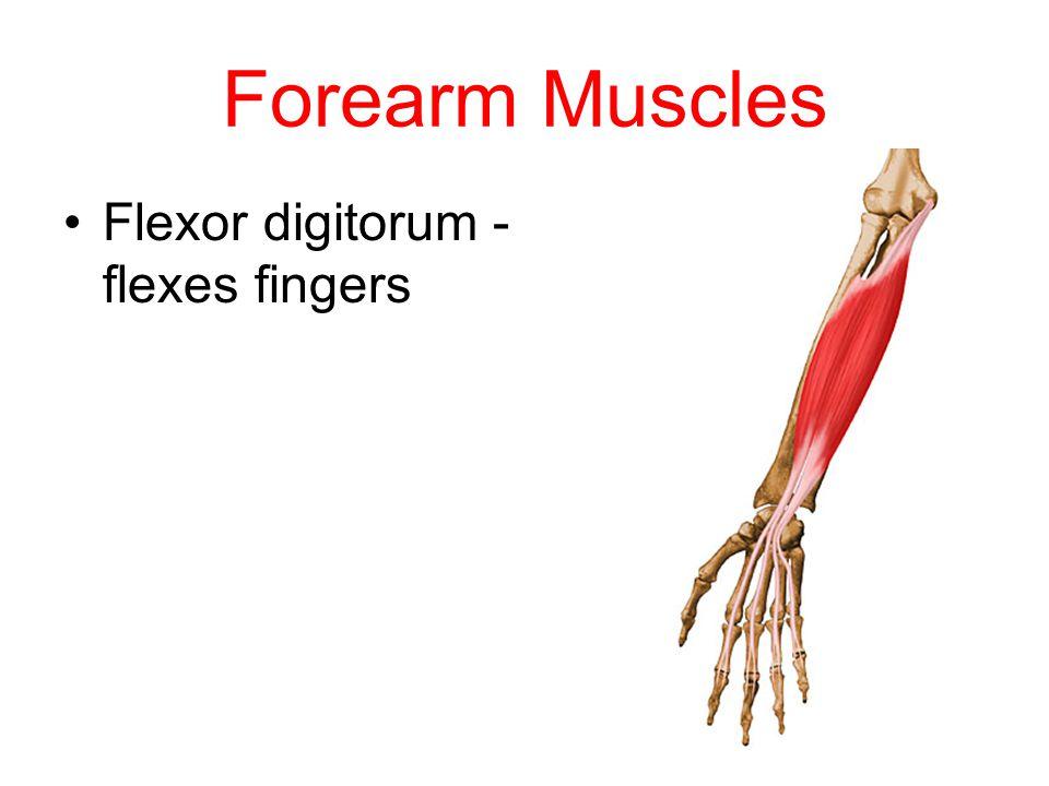Forearm Muscles Flexor digitorum - flexes fingers