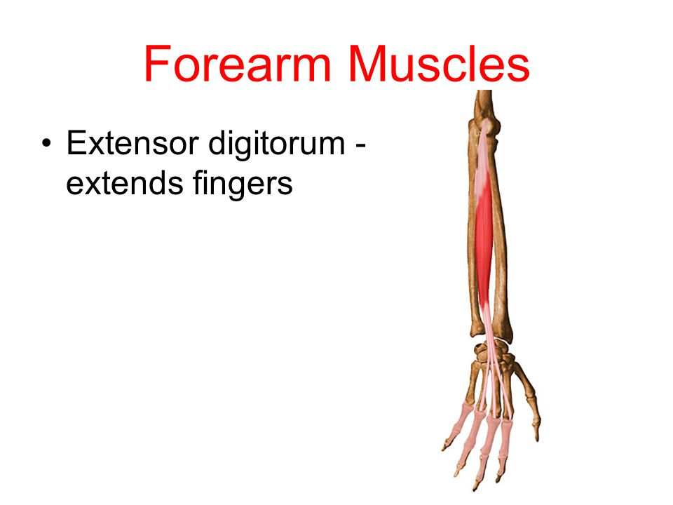 Forearm Muscles Extensor digitorum - extends fingers