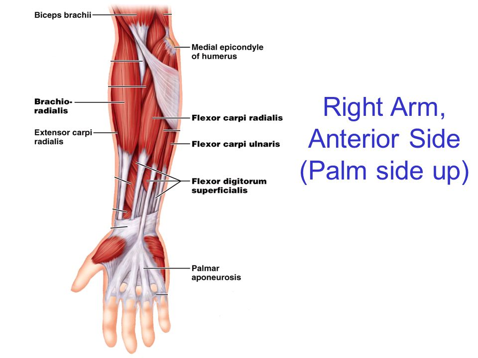 Right Arm, Anterior Side