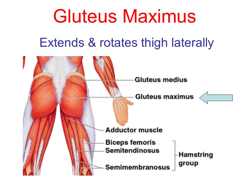 Extends & rotates thigh laterally