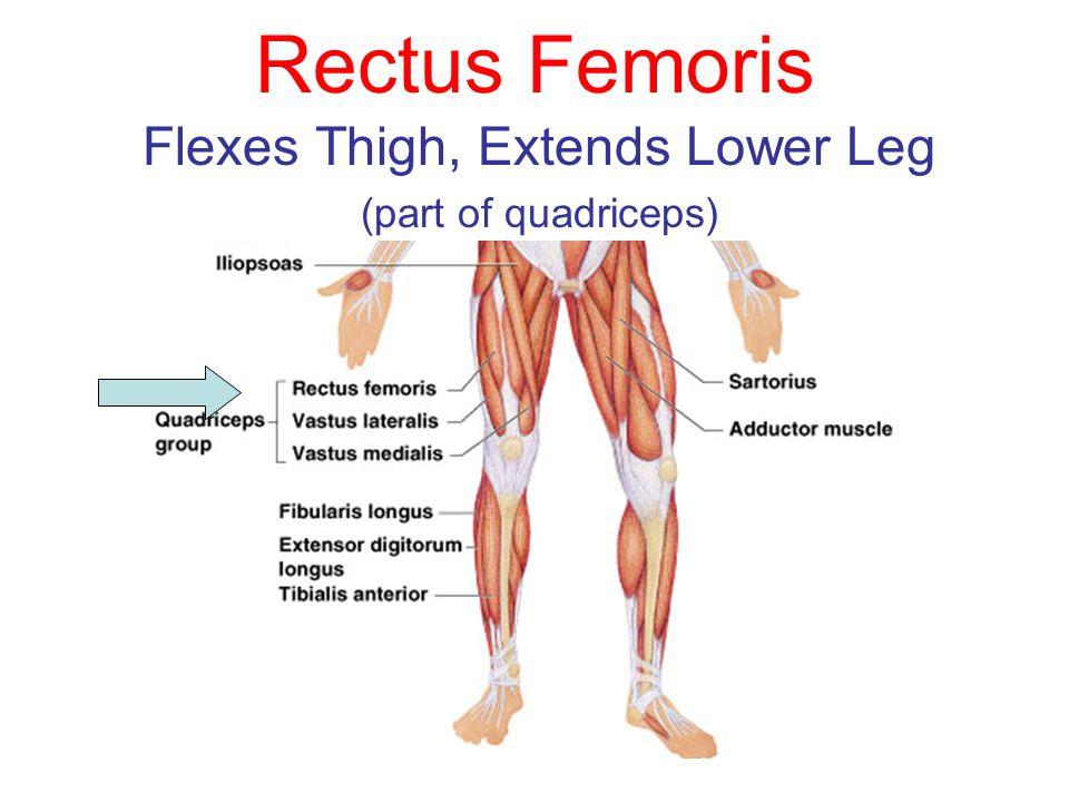 Flexes Thigh, Extends Lower Leg (part of quadriceps)