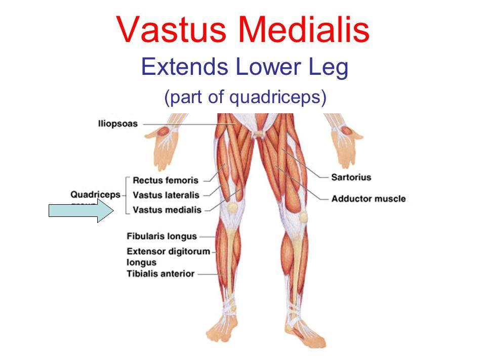Extends Lower Leg (part of quadriceps)
