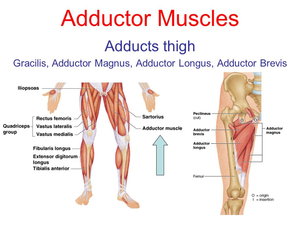 Adductor Muscles | tenderness.co