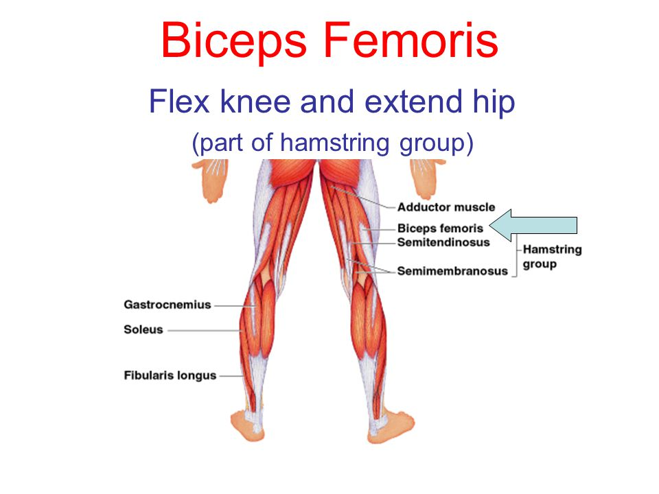Fantastic What Muscle Extends The Knee Elaboration - Anatomy And ...