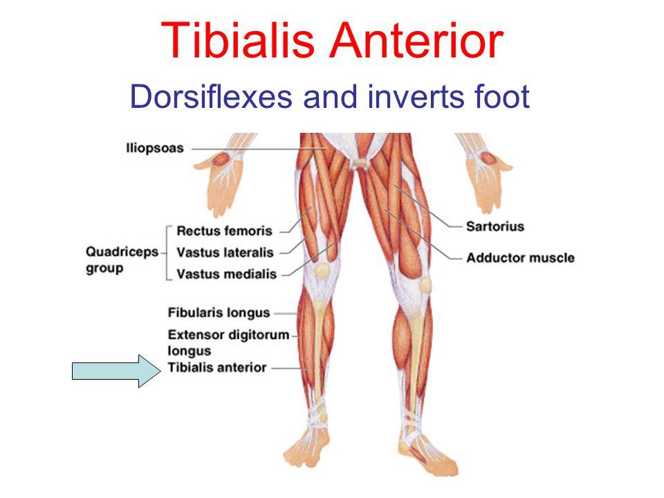 Dorsiflexes and inverts foot