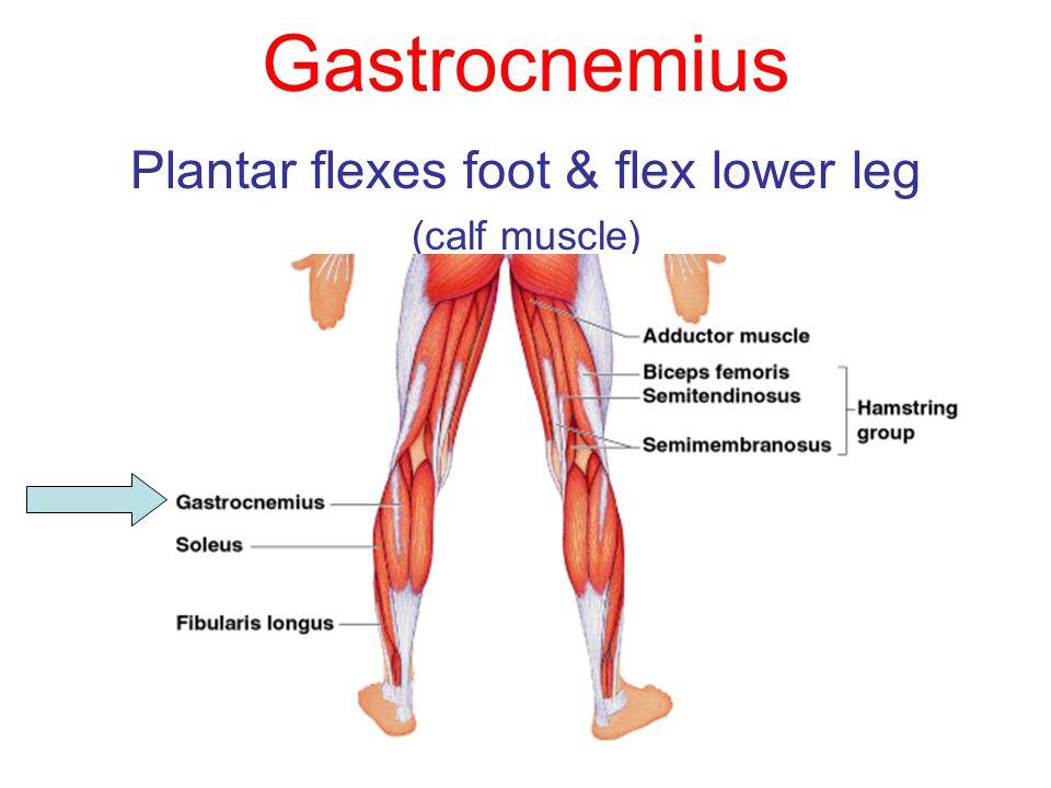 Plantar flexes foot & flex lower leg (calf muscle)