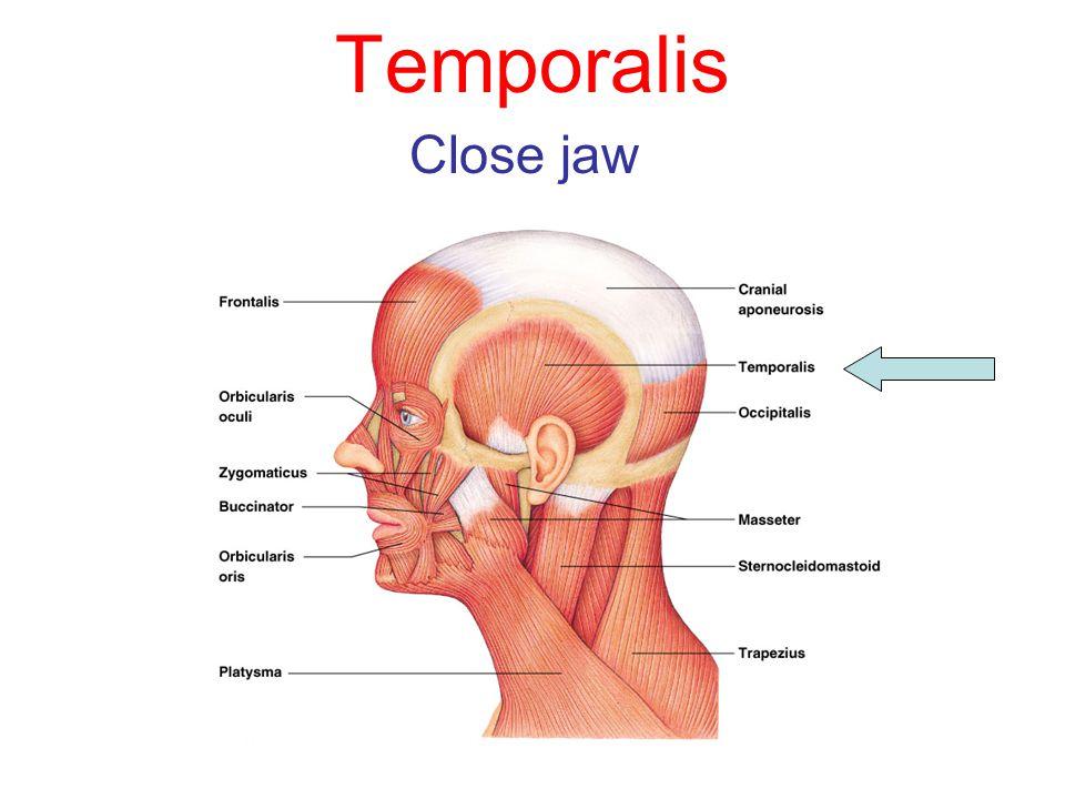 Temporalis Close jaw