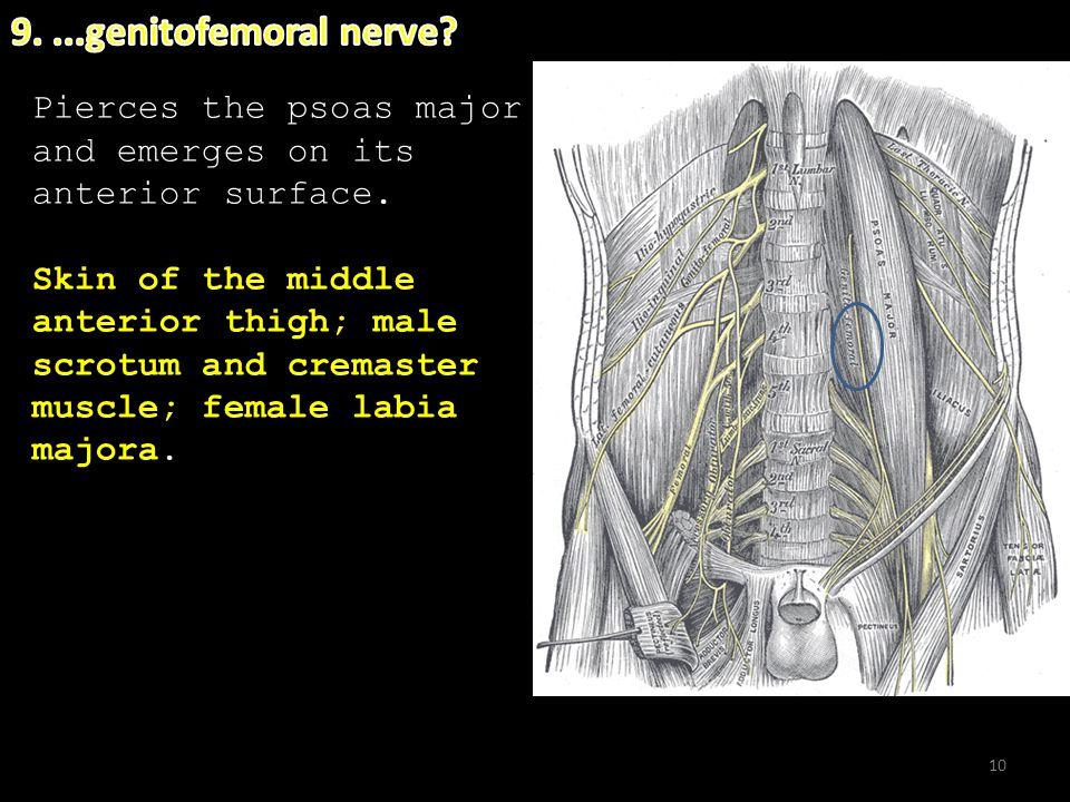 9. ...genitofemoral nerve uinal & iliohypogastric nerves