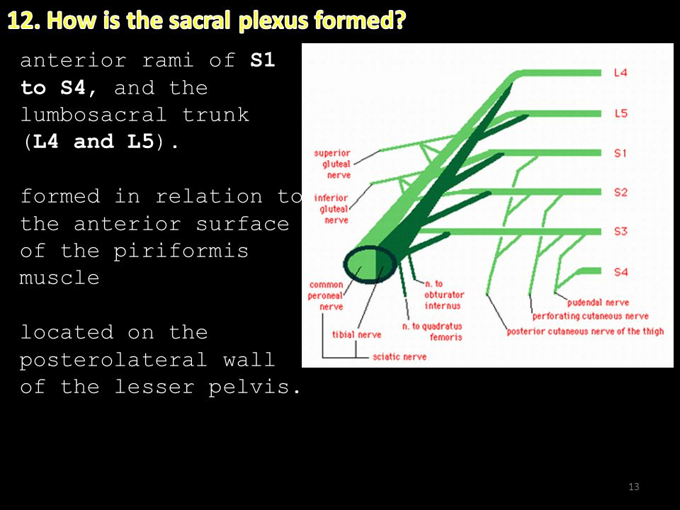 12. How is the sacral plexus formed