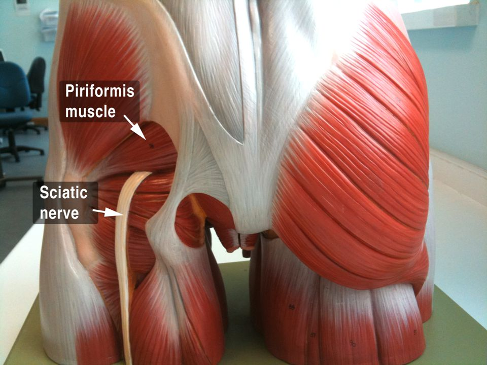 13... sciatic nerve Largest nerve in the body.