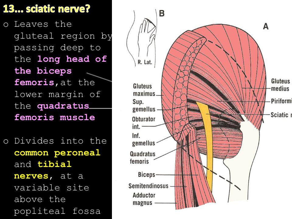 13... sciatic nerve