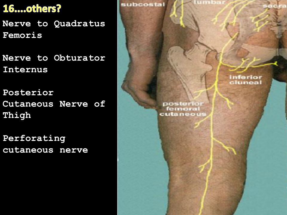 16....others Nerve to Quadratus Femoris Nerve to Obturator Internus
