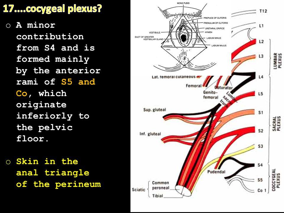 17....cocygeal plexus